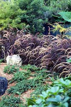 Description: fountain grass