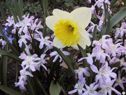 Daffodil and Chionodoxa