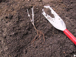 planting bare root