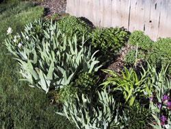 crowded iris