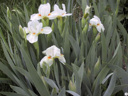 divide crowded iris