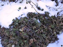 snow on perennials