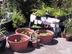 Water garden plants for sale in nursery