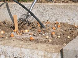 Fertilizing bulbs