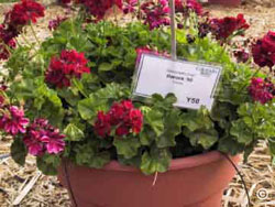 Red 'Barrock' ivy geranium in bloom