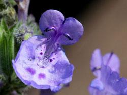 Catmint Blossom
