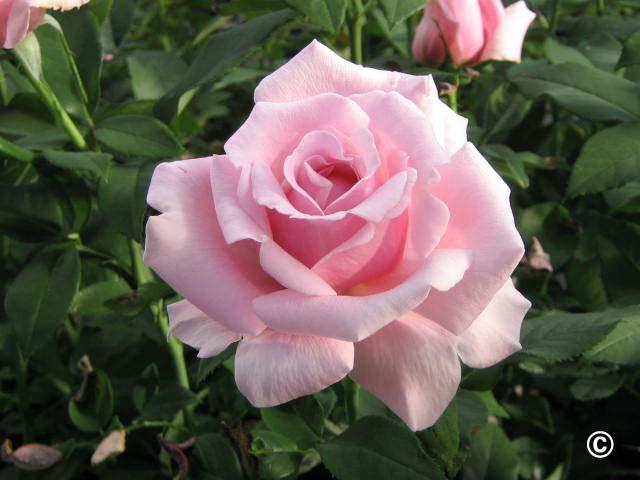 1087 Roses For Colorado Planttalk Colorado