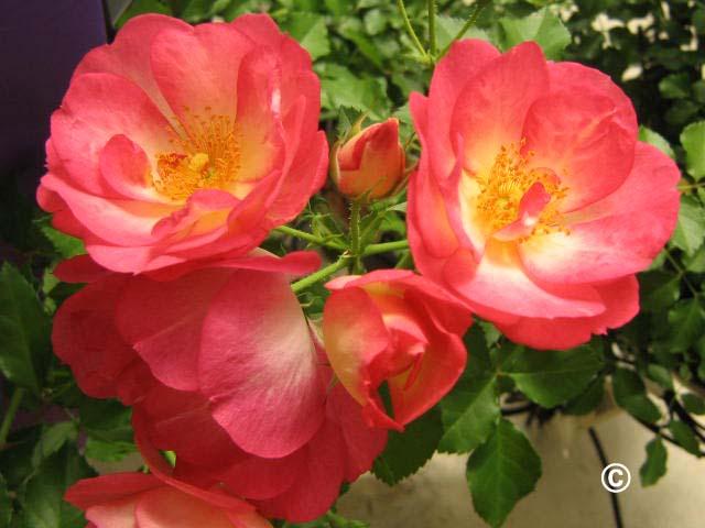 1087 Roses for Colorado PlantTalk