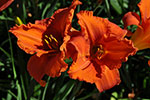 Hemerocallis Fire King