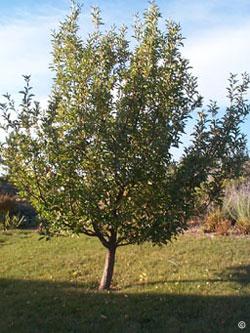 1201 Apples Planttalk Coloradoplanttalk Colorado
