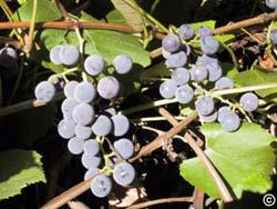 1203 Grapes Planttalk Colorado