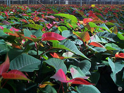 Red Poinsettias in greenhouse