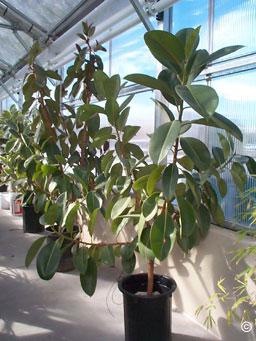 Fit For Less >> 1326 - Rubber Plant - PlantTalk ColoradoPlantTalk Colorado