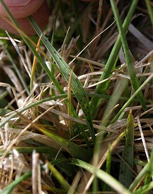 mites feeding on tall fescue leaves