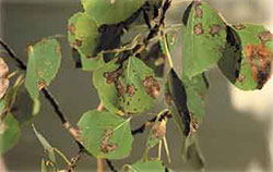Marssonina populi on aspen leaves