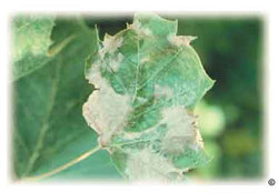 Anthacnose symptoms on sycamore leaf