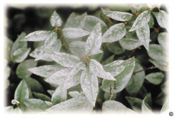 Powdery mildew on Chinese lilac leaves