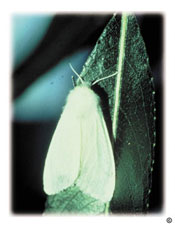 Fall webworm. Hyphantria cunea, adult