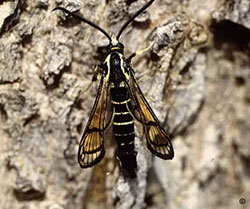 Adult male peach tree borer