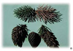 Spruce galls produced by Cooley spruce gall