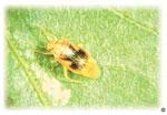 Ash plant bug
