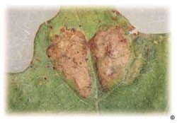 Oak leaf blister