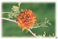 Gymnosporangium sp. telial stage on juniper