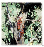 Cytospora canker gummosis symptoms on peach