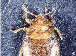 1470 Bed Bat And Swallow Bugs Planttalk Colorado