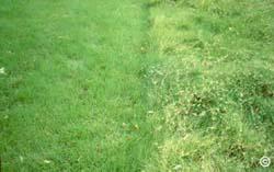 1512 Buffalo Grass Lawns Planttalk Colorado