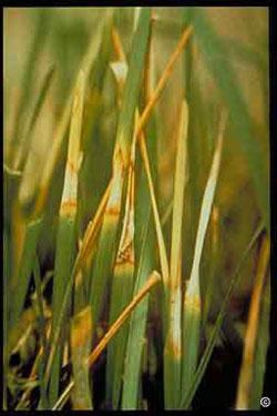 1522 Dollar Spot Of Turfgrass Planttalk