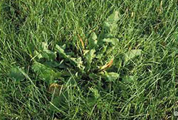Controlling broadleaf weeds in lawns