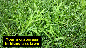 Controlling weedy grasses in lawns