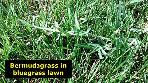 1531 - Bermuda Grass in Lawns & Gardens - PlantTalk