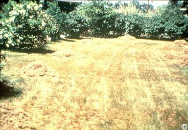 Fertilización otoñal del prado: durante sequéa
