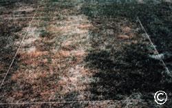 Kentucky bluegrass drought tolerance
