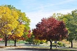 1735 - Ash Trees - PlantTalk Colorado