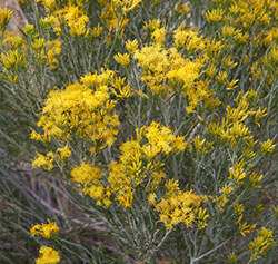 Rabbitbrush plant close-up