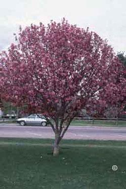 1747 Flowering Crabapple Planttalk Coloradoplanttalk