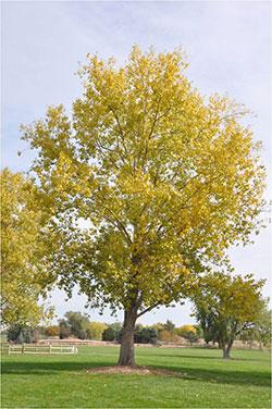 1758 Cottonwood Cotton Planttalk Colorado