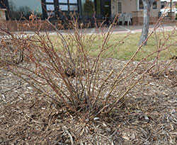 1763 Pruning Roses Planttalk Colorado