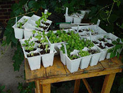 Plastic packs of vegetable transplants