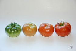 Tomato Stages