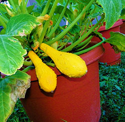 Summer Squash in container