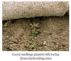 carrot seedlings planted with burlap
