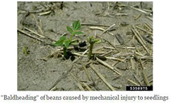 Baldheading of beans caused by mechanical injury to seedlings