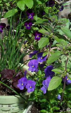 herb scene with violas