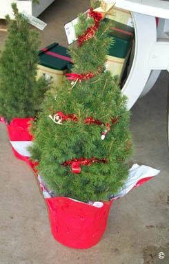 Plantable Christmas Tree.2017 Christmas Trees Care For Living Trees Planttalk