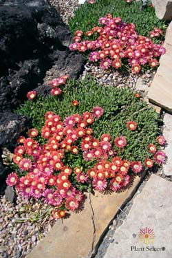 RED MOUNTAIN® Ice Plant