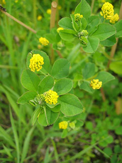 2128 white clover and black medic control in lawns planttalk wet cool springs and early summers promote prolific growth of two legume family weeds in lawns white clover white flowers and black medic yellow mightylinksfo Choice Image